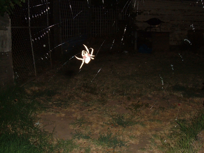 spider night