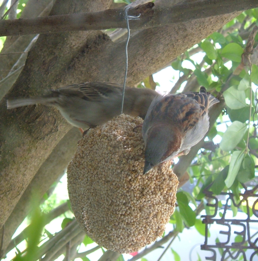 House Sparrows outside my kitchen window