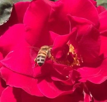 rosebee4