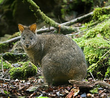 Not to be confused with our pademelon! Picture from Wikipedia.