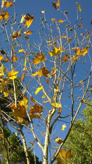 The American Sycamore this morning
