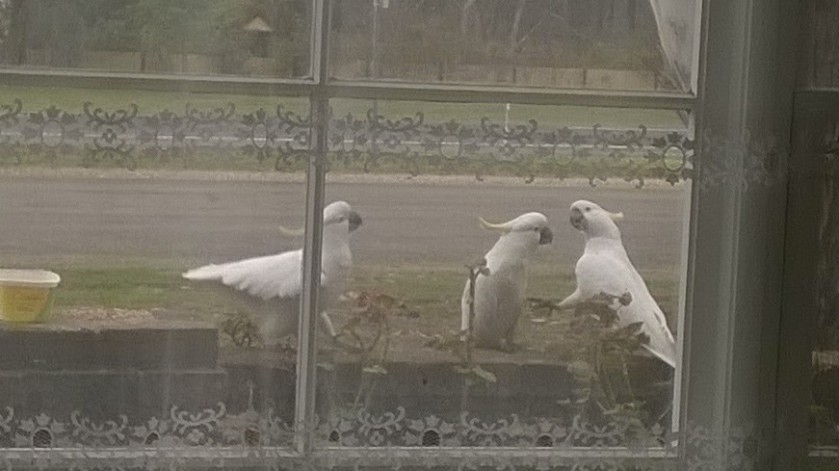 this one is from the other day when the cockies were bossing each other about