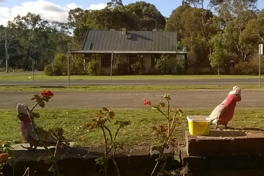 The galahs obliged me with their crests up today. (cropped a bit)
