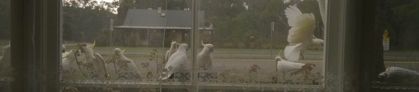 Sulphur-crested cockatoos on my front fence