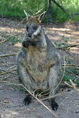 sswamp wallaby