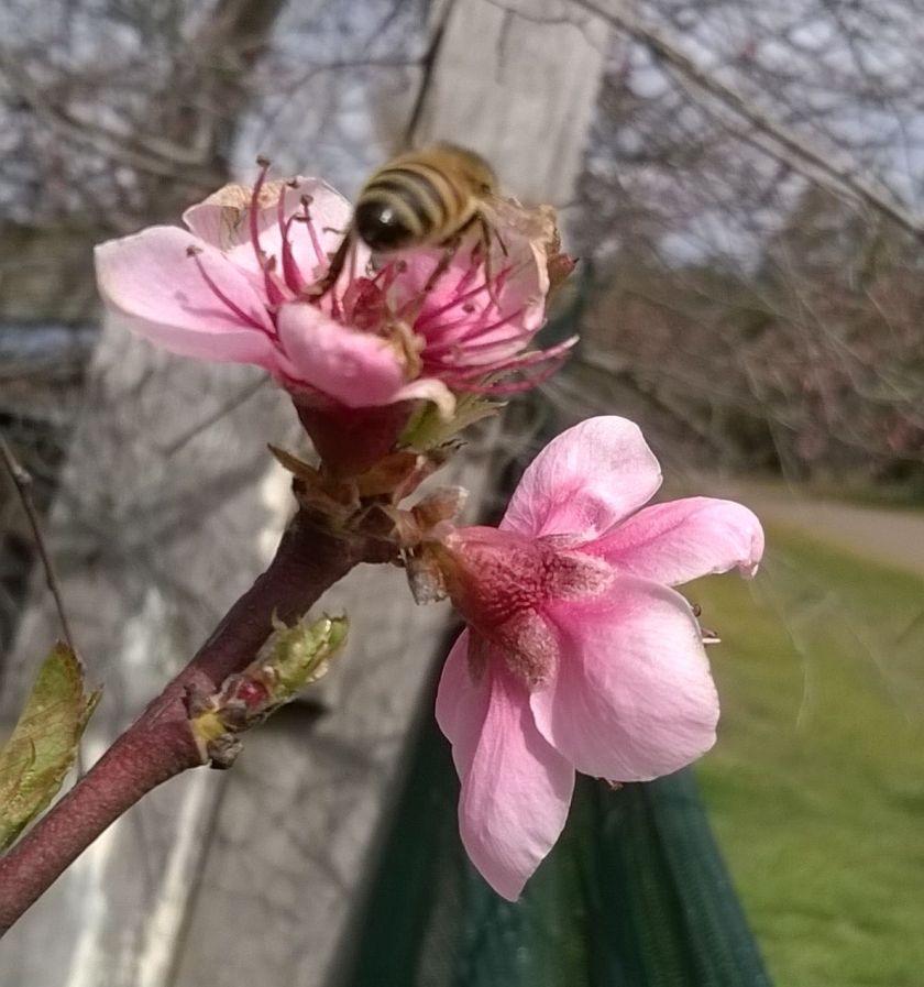 a bee on my new nectarine tree