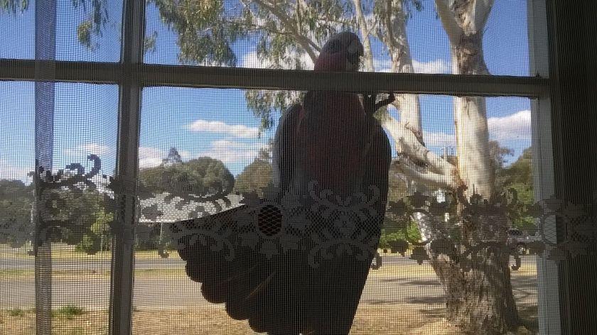 galah on window