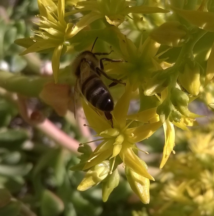 bee on flowers on yellow flowers belonging to a succulent