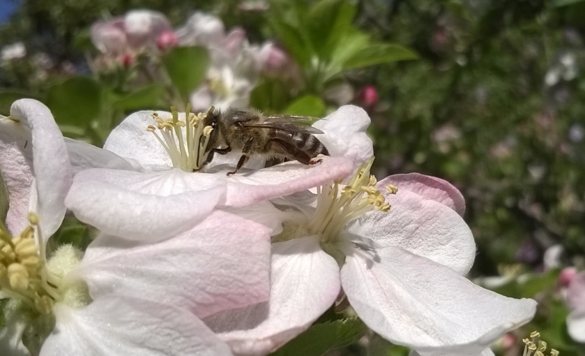 bee, apple blossom