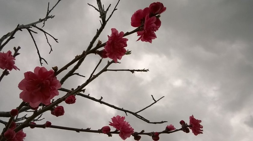 pink blossom against grey sky