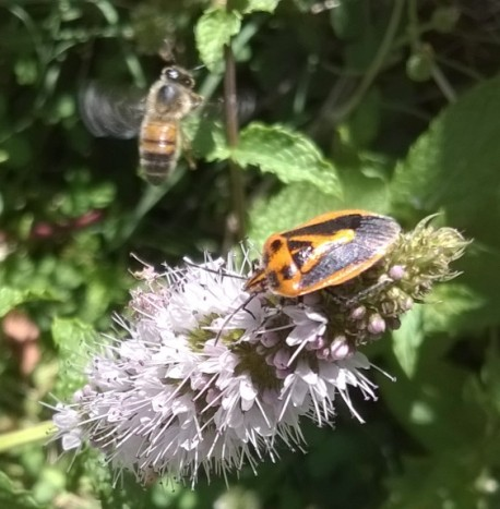 a shield bug and a flying bee