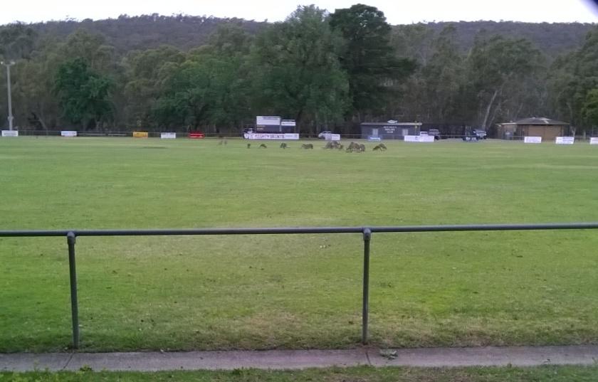Kangaroos on the football oval in the centre of Heathcote, Victoria, Australia