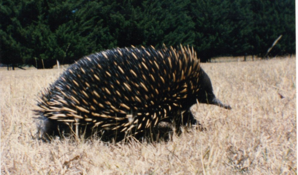 my favourite photo of the echidna