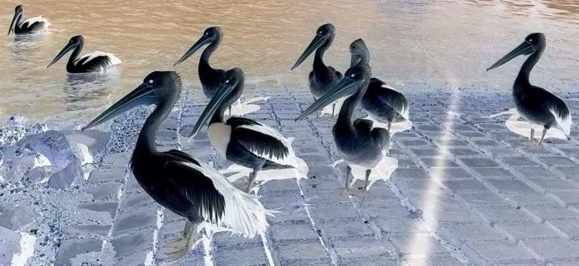 pelicansinvertedsmall