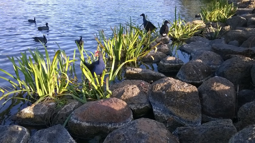 ducks and swamphens