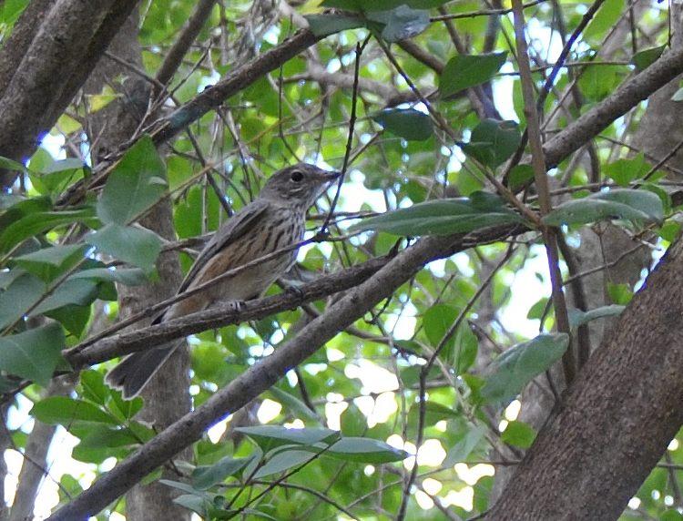 bird, a possible Jacky Winter