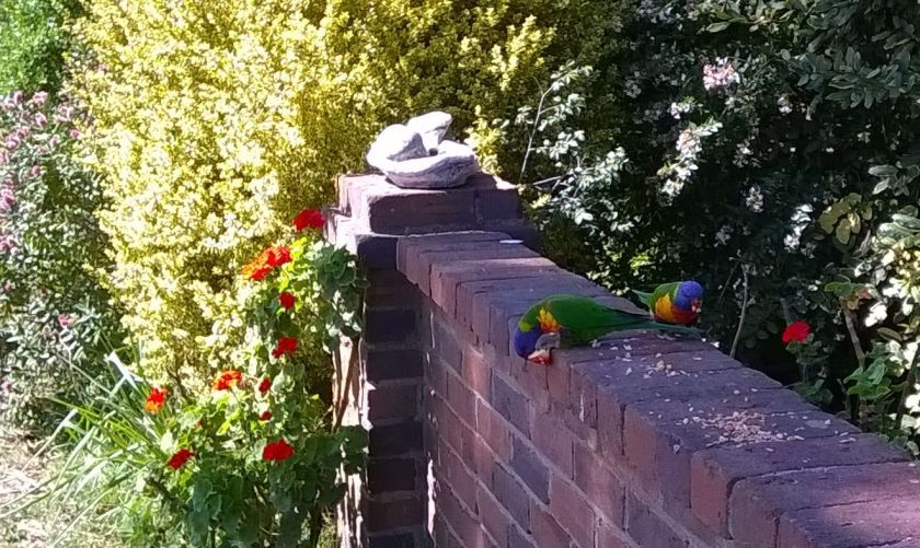 lorikeets on my front fence