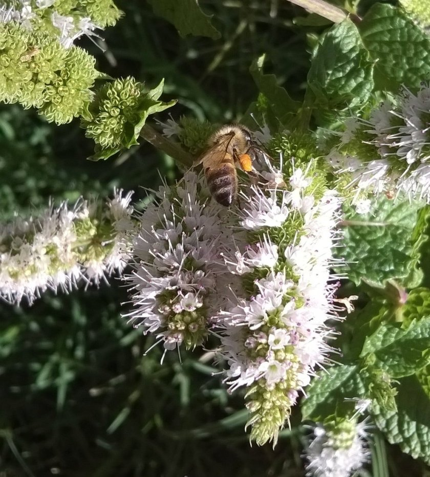 Bee on mint blossom