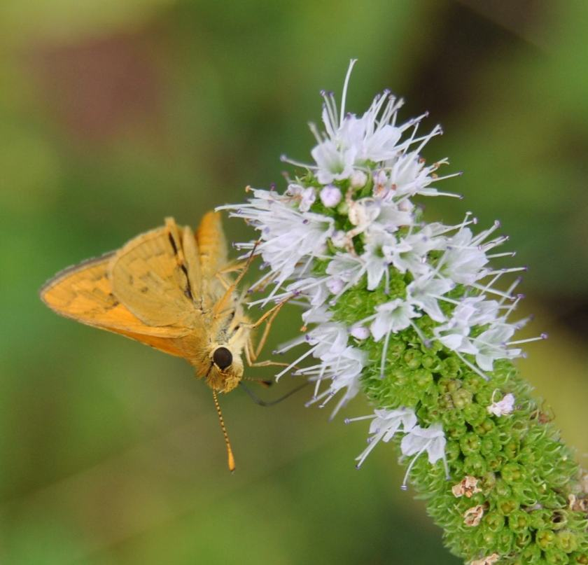 skipper bufferfly on mint blossom - it moves on tippy toes