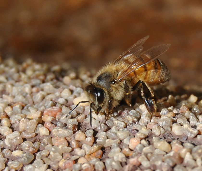 bee on edgeof pond, tongue starting to come out