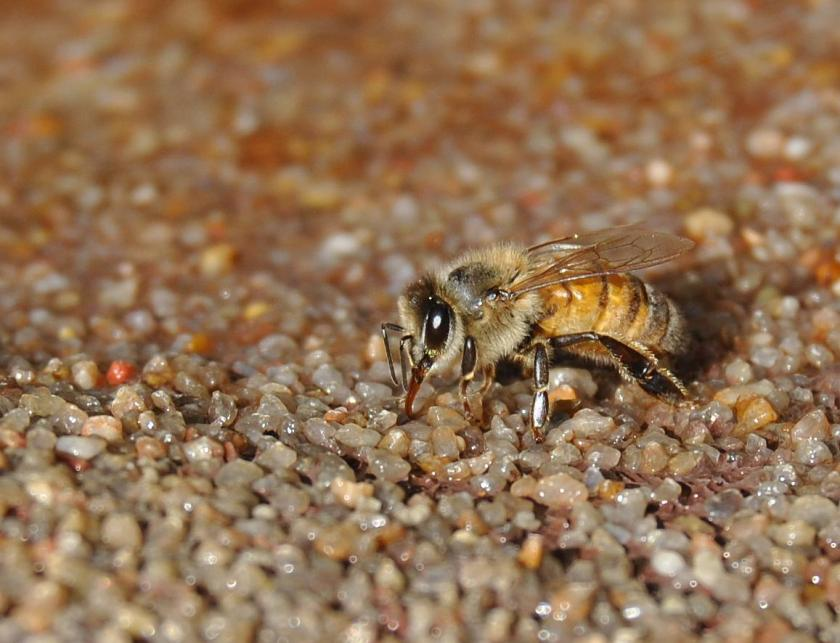 bee drinking, side view