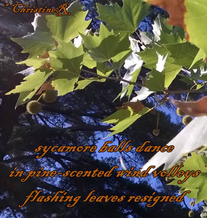 haiku- sycamore pods and leaves