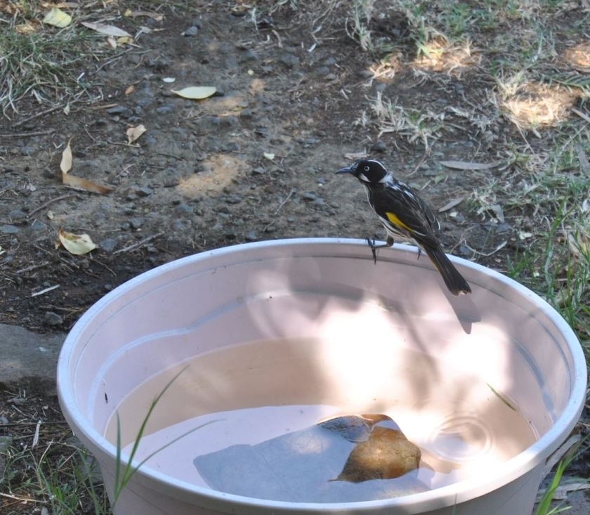 New Holland Honeyeater on water bowl