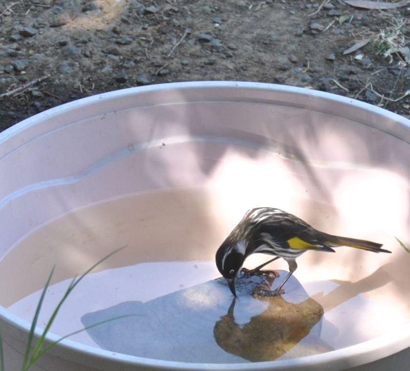 New Holland Honeyeater drinking