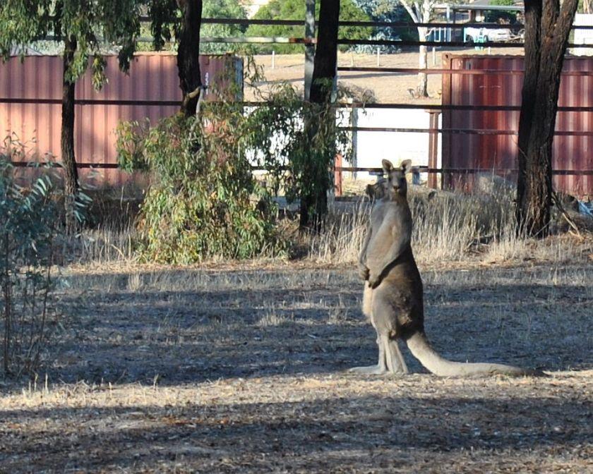 watching kangaroo