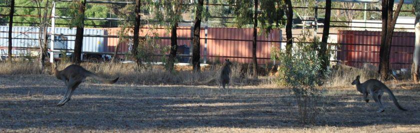 two bounding kangaroos, plus one