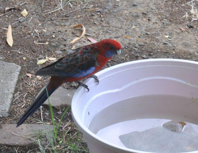crimson rosella sitting edge water dish