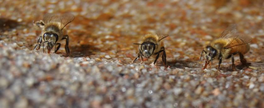 three bees drinking