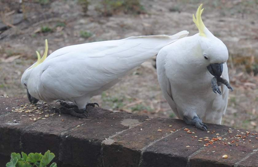 two sulphur-crested cockatoos