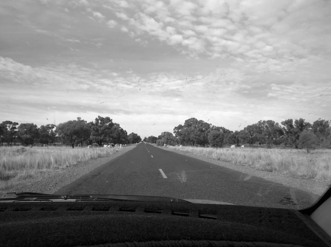 looking through the windscreen at cattle on the roadsides