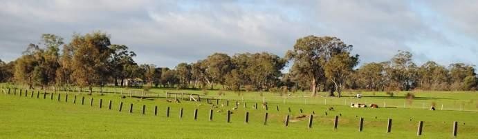 kangaroos'n cows from the lane