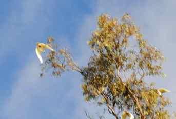 flying cockatoos
