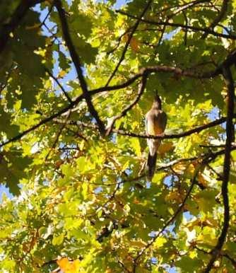 the wattlebird followed us