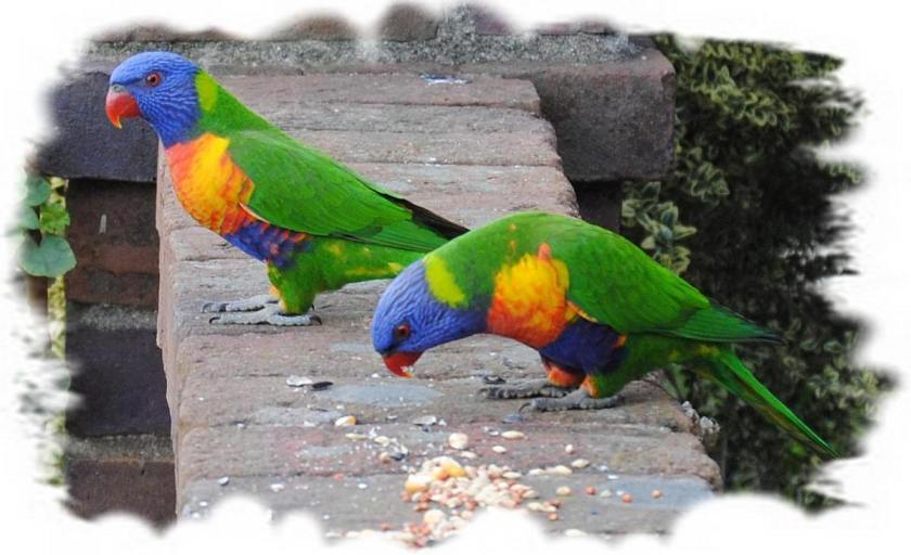 two rainbow lorikeets