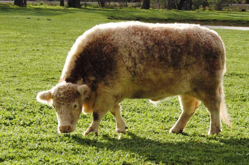 cowsun