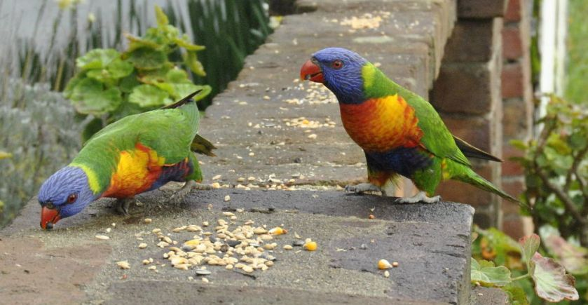 pair rainbow lorikeets on my fence