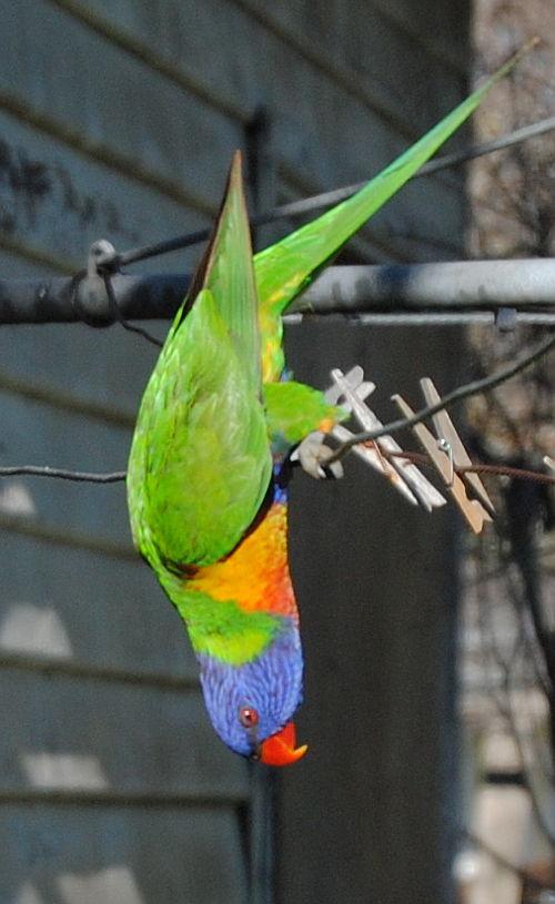 rainbow lorikeet hanging on my clothesline