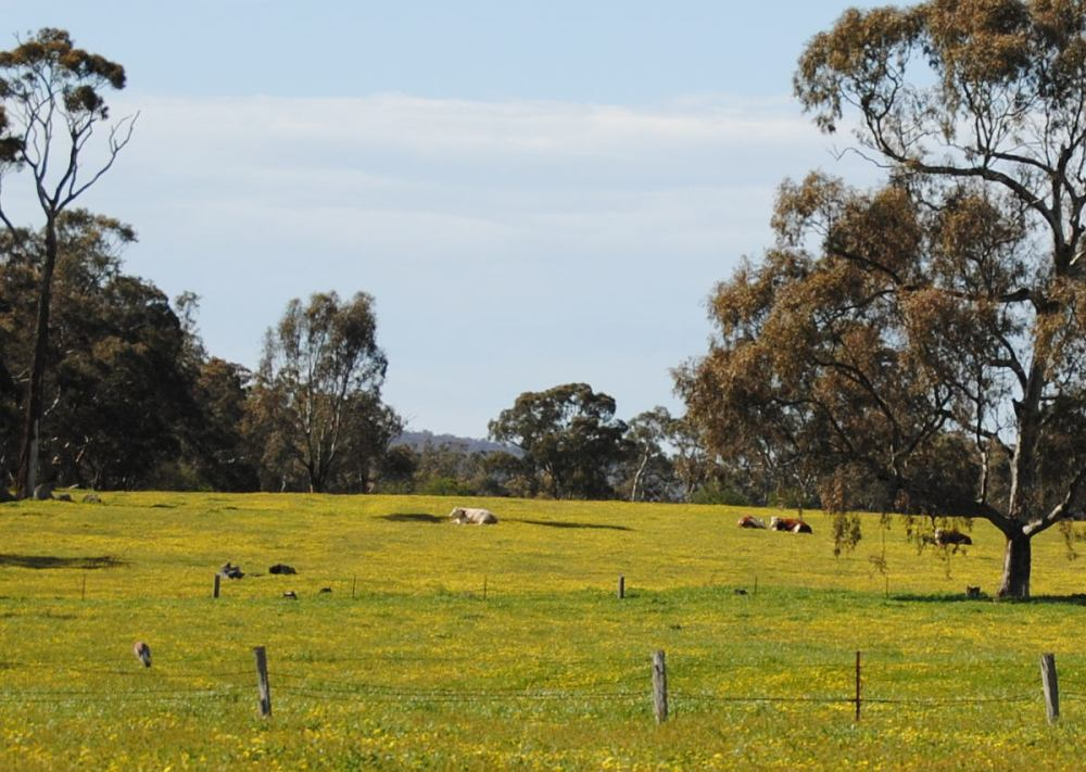 cows in a paddock covered in capeweed