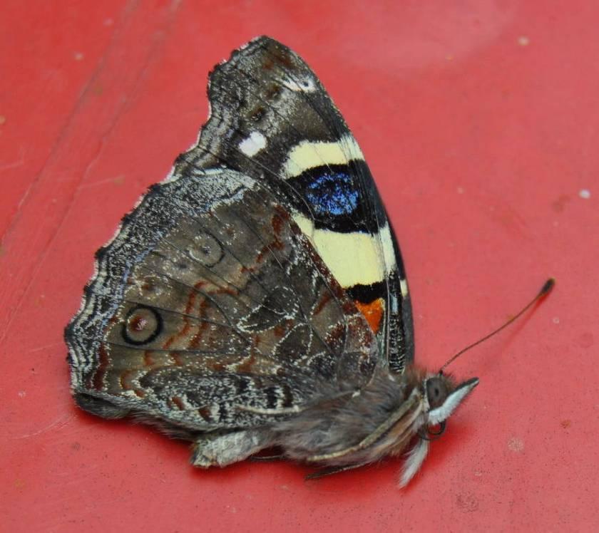 butterflyfeat