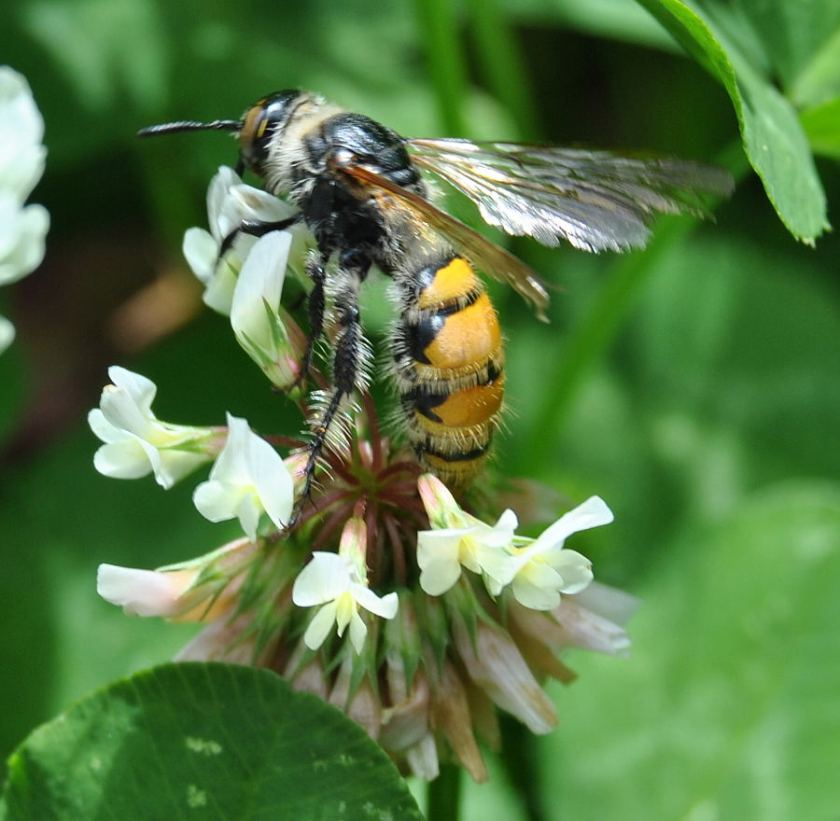 hairy flower wasp on clover blossom