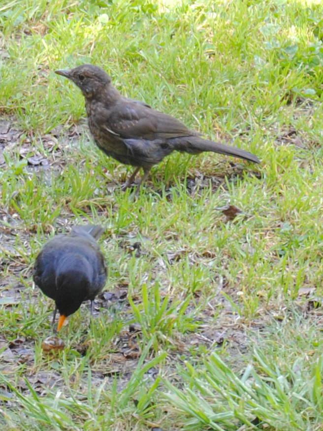 blackbirdcuckoodsc_1913