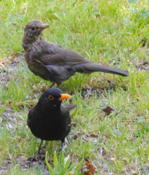 blackbirdsdsc_1910