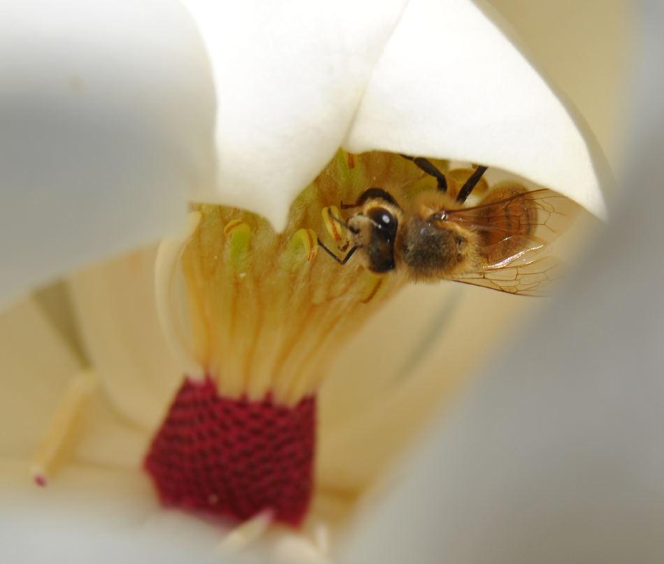 magnoliabee4dsc_2212
