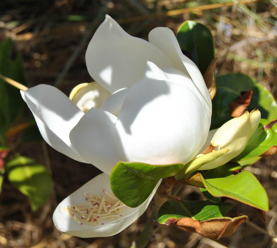 magnoliadsc_2223
