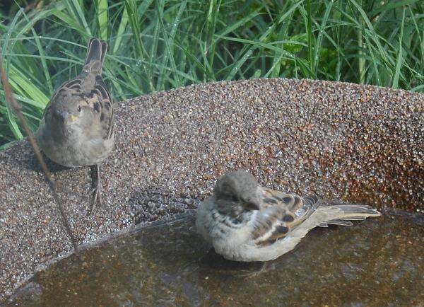 2sparrowDSC_3261