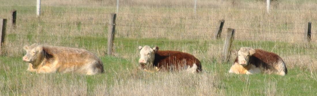 cowsDSC_4154